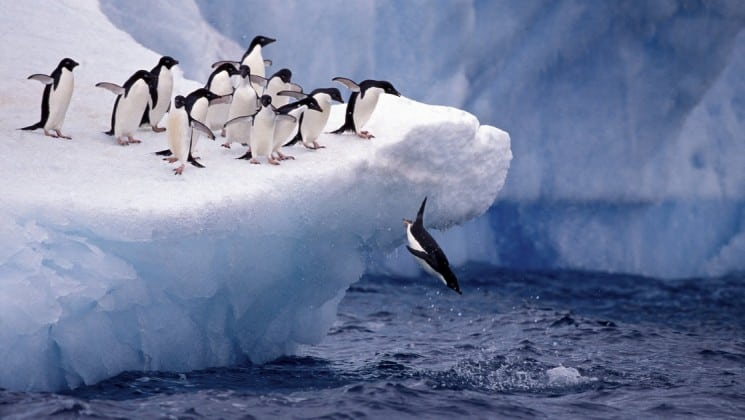 penguins dive into the ocean off an iceberg in antarctica