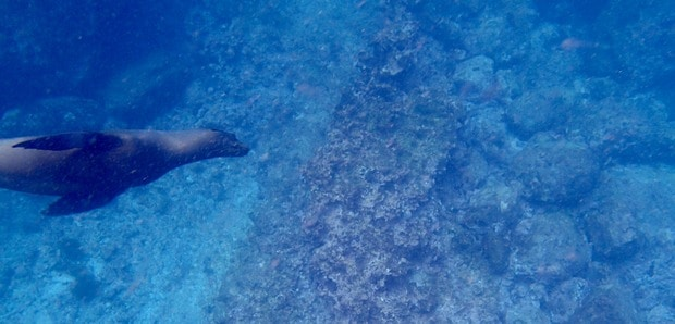Sea lion swimming underwater seen from a small ship cruise in the Galapagos.