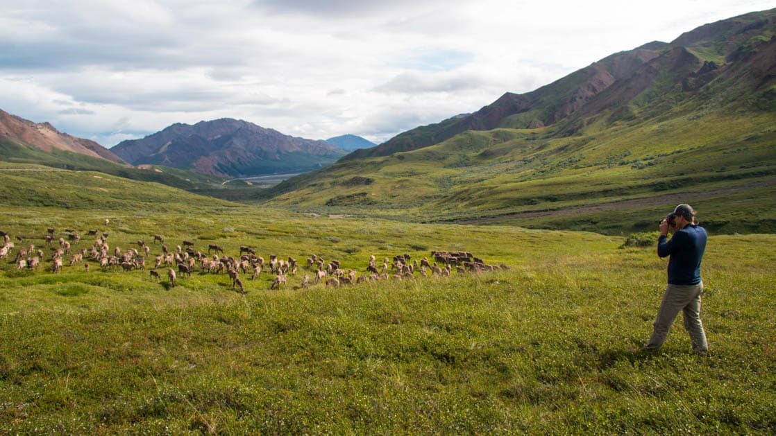 A man taking a photo of a herd of animals in a large meadow in Alaksa
