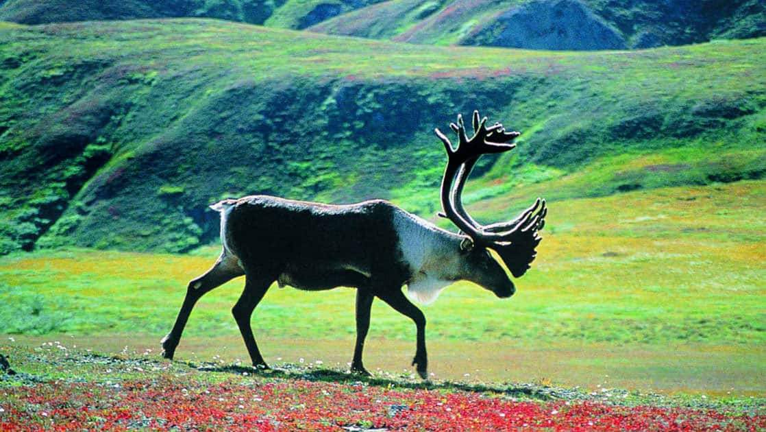 Caribou up close in denali national park in a green field with red wildflowers