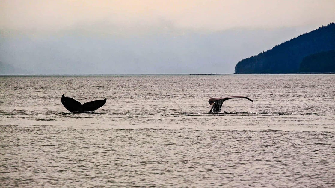 whale tails showing above water at dusk in alaska with mountains in the distance