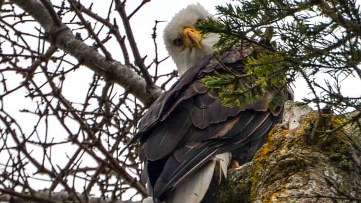 alaska bald eagle perched in a tree looking at the camera