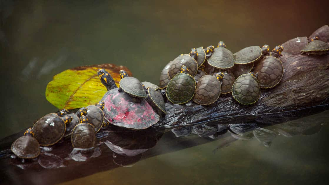 Turtle with about 15 baby turtles piled together on top of each other on a log in a river in the Peruvian Amazon