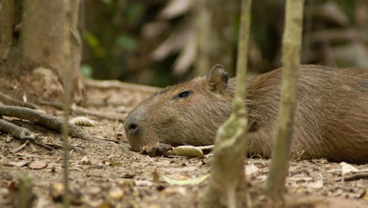 Capybara rodent lying on the floor of the rainforest