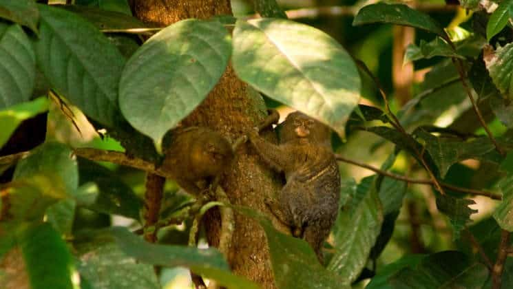 Two monkeys seen through the branches of a tree in the peruvian amazon