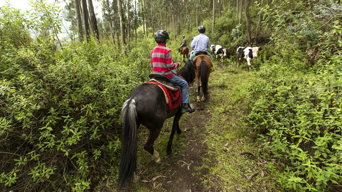 A group wearing helmets horseback ride through lush landscape of Ecuador's sierra mountains, following a trail, they pass by black and white cattle.