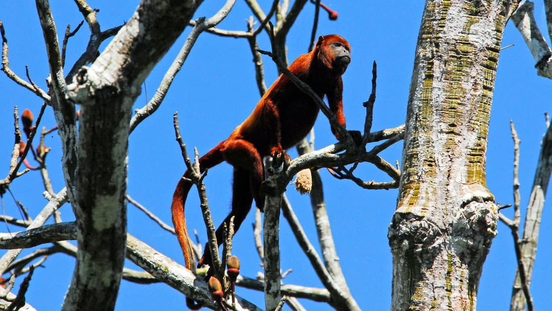 monkey climbing dead trees on a sunny day in the amazon