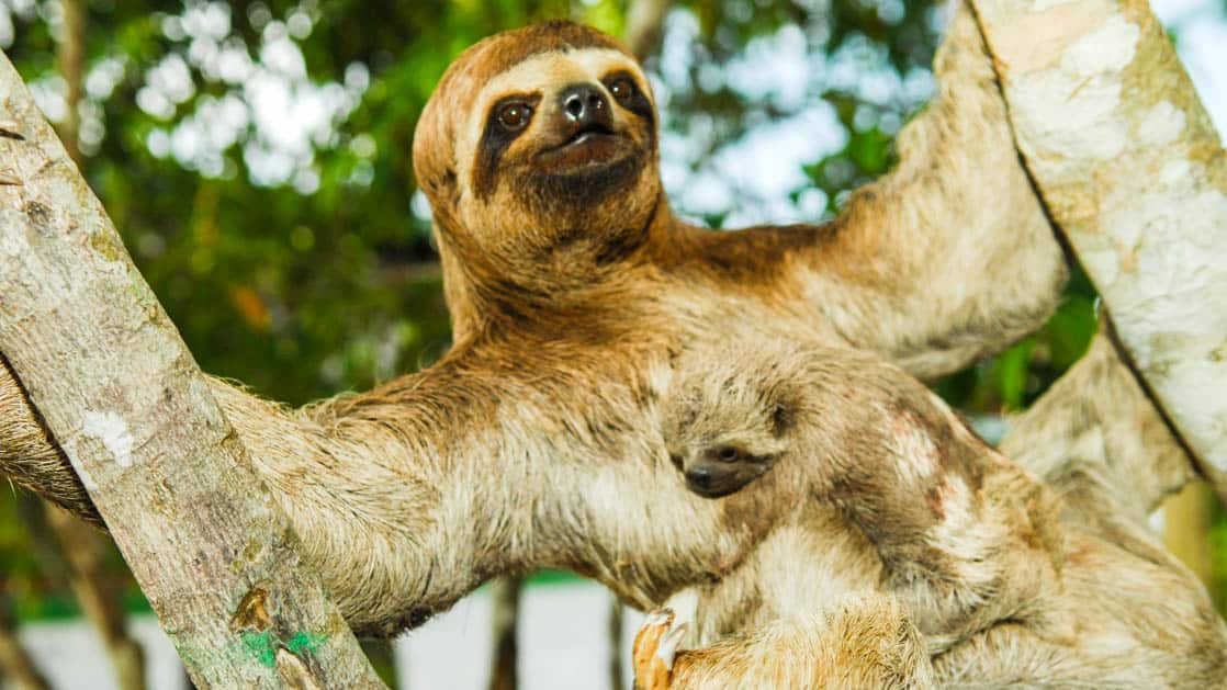 sloth with baby hanging in the canopy on the aria amazon river cruise