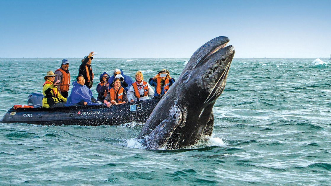 A large gray whale breaches the teal ocean surface jumping into the air as a zodiac boat full of excited Baja travelers watch