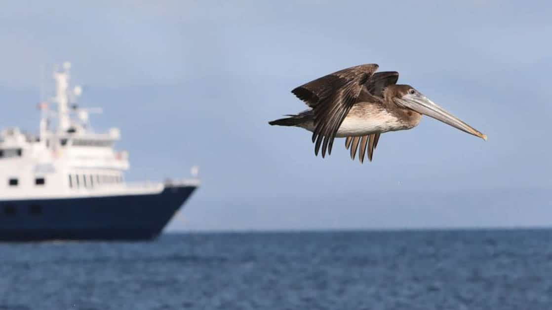 a pelican flies in the foreground with the caribbean small ship safari voyager in the distance on a calm sunny day