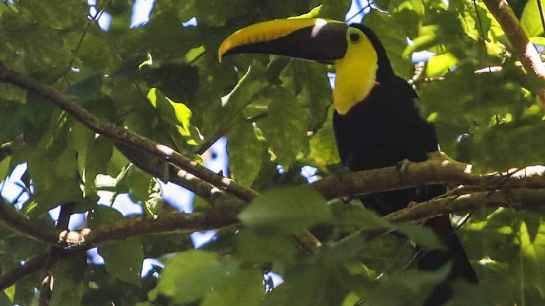 vibrantly colored toucan sits in the caribbean jungle canopy with large leaves around it
