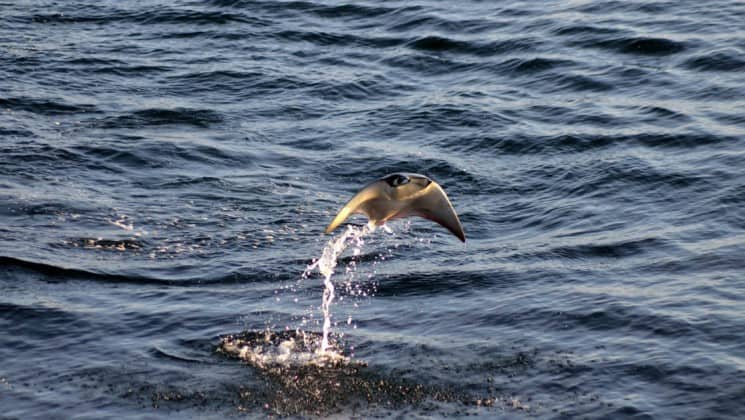 Mobula ray jumping out of the water in Panama