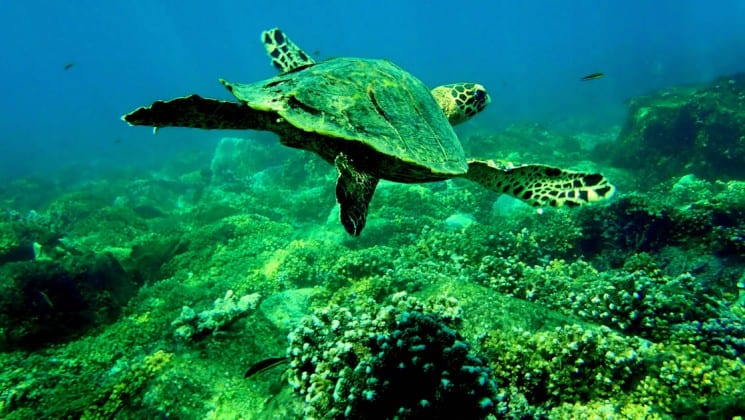 Green sea turtle swimming underwater over coral