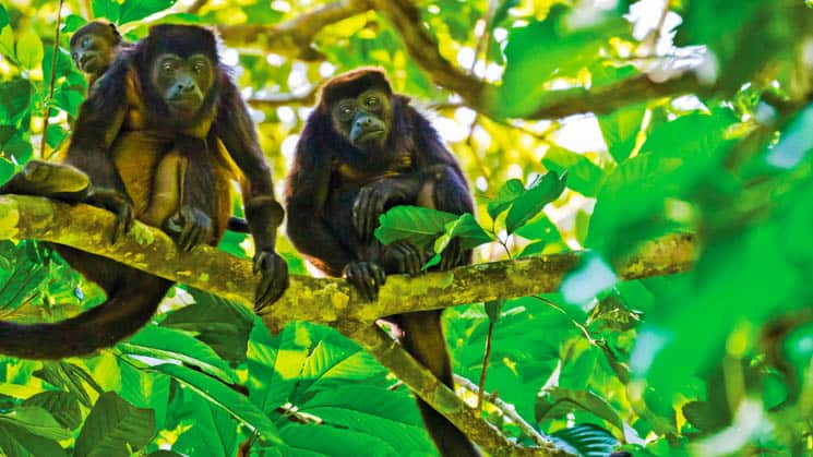 Golden-mantled howler Monkeys in the costa rica jungle surrounded by bright green leaves