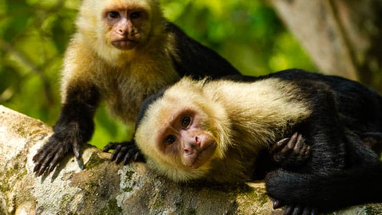 White-faced capuchin monkeys in the costa rica jungle in Manuel Antonio National Park