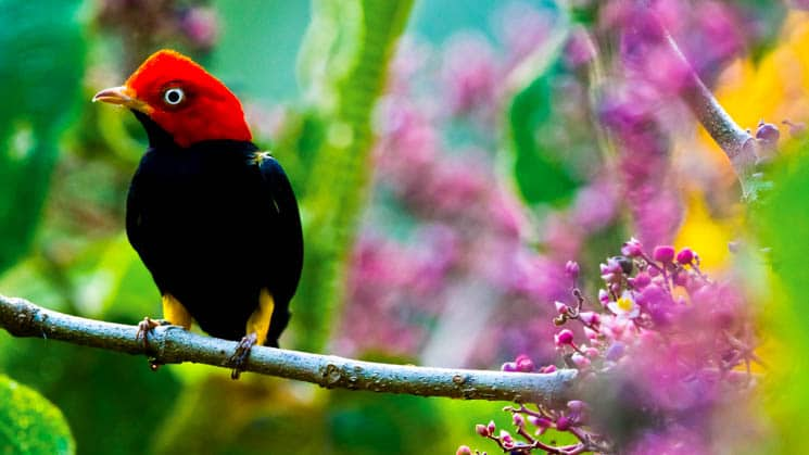Red-capped manikan exotic costa rica bird on a branch with pink flowers behind it in Corcovado National Park