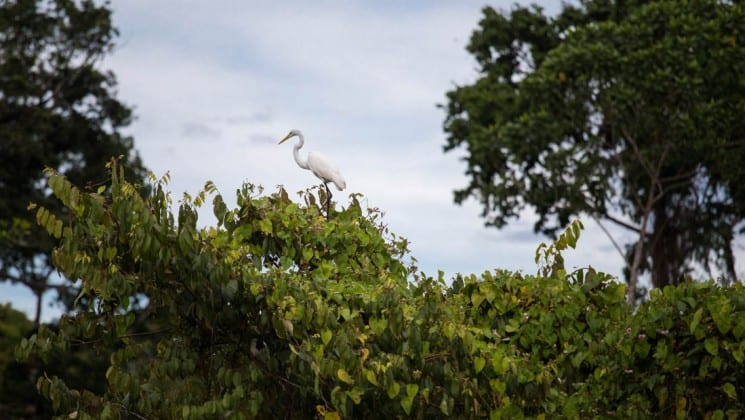 white crane walking across the top of the amazon jungle canopy on a partly cloudy day