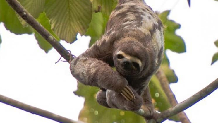 sloth with spotted coat hanging down from a tree in the amazon jungle with large leaves surrounding it