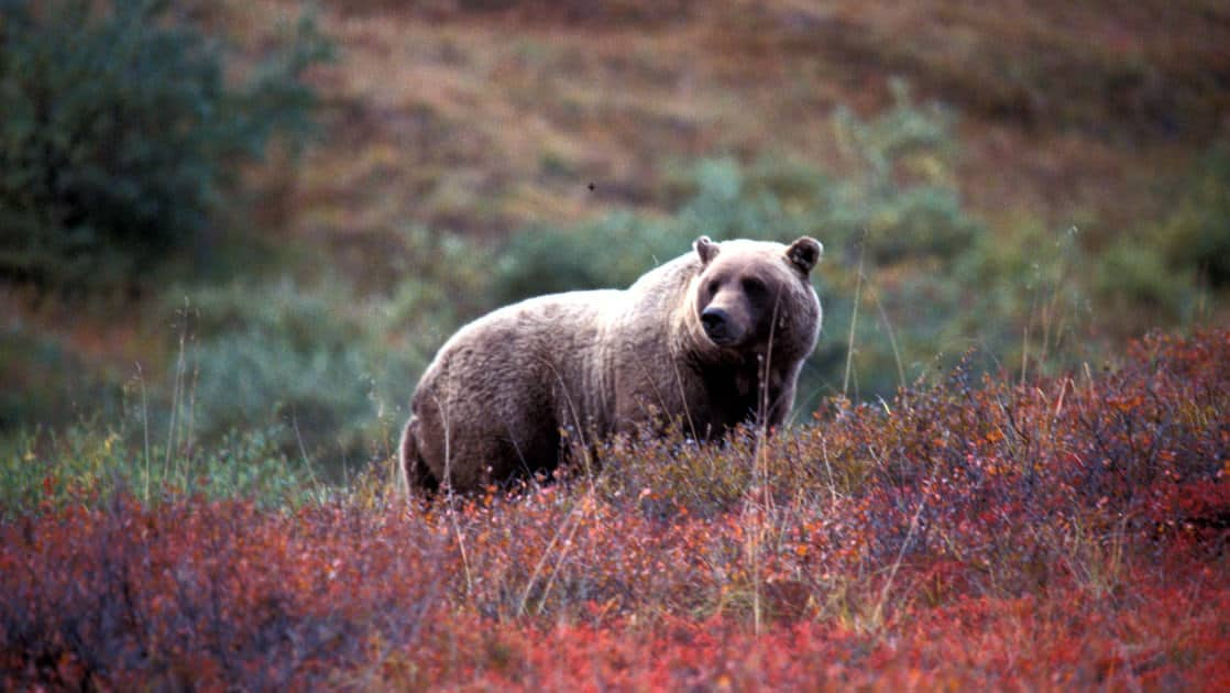 brown bear looking up through the red shrubs on the hillside in denali national park in alaska