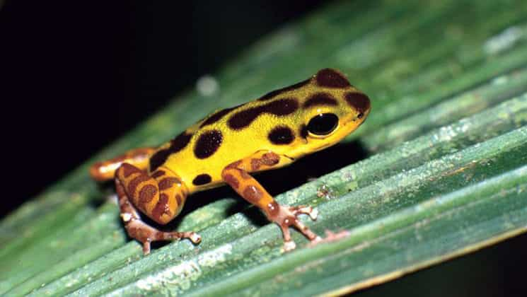 A bright yellow tree frog with black spots and red legs on a leaf in Panama.