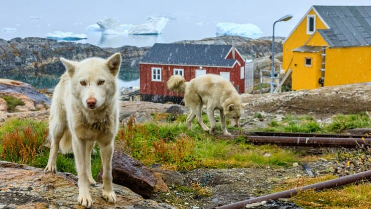 Two white dogs walking in front of houses in a village in greenland with icebergs behind them