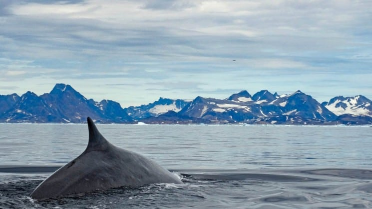 whale's fin out of the water as it swims in greenland with mountains behind