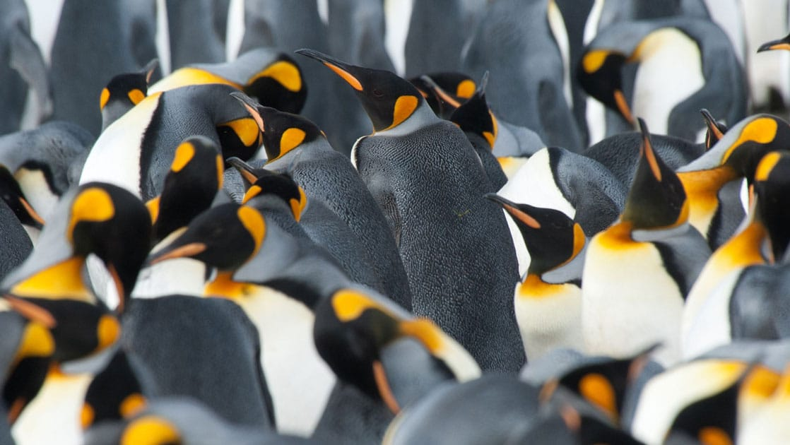 a colony of king penguins in antarctica