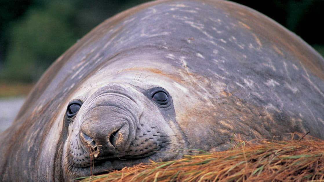 elephant seal relaxing on its stomach atop brown grass in patagonia