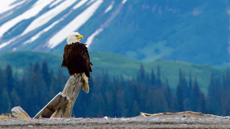 bald eagle sitting on a log with snowy and green mountains in the distance on a sunny day in alaska