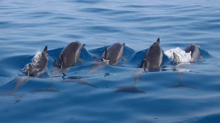 five dolphins swim away, their heads above water on a sunny day in hawaii