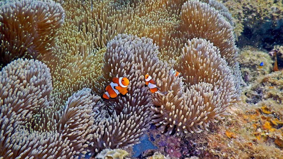 two orange and white clown fish swim among a large anemone in sulawesi on the islands of indonesia small ship cruise