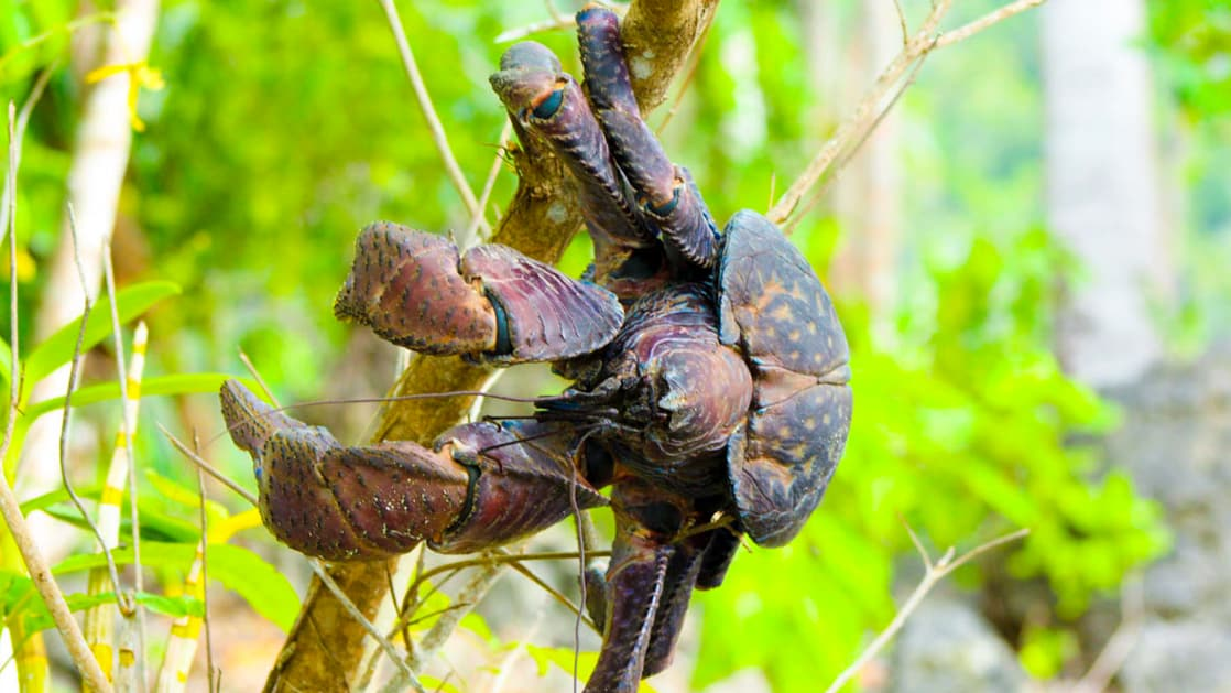 large coconut crab clings to a branch with green foliage behind it in indonesia