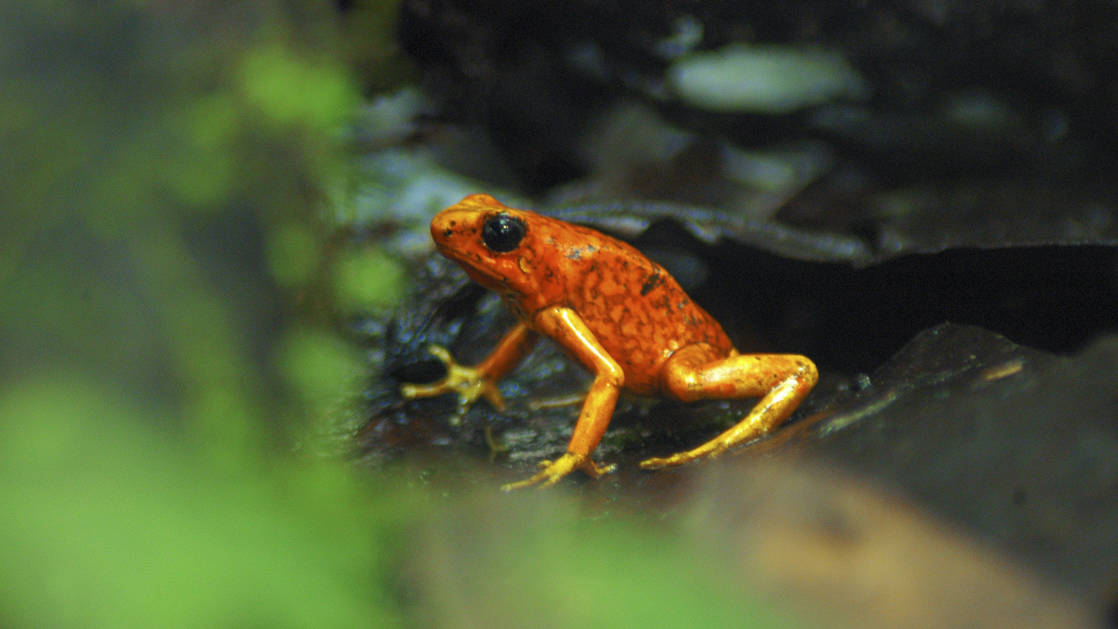 red and orange frog sitting on a rock in the jungle in ecuador