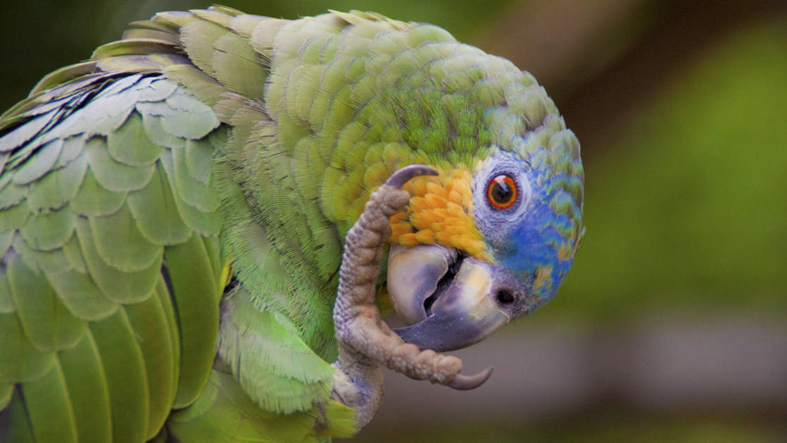 up close green parrot with a blue and yellow face lifting its claw up to it's beak