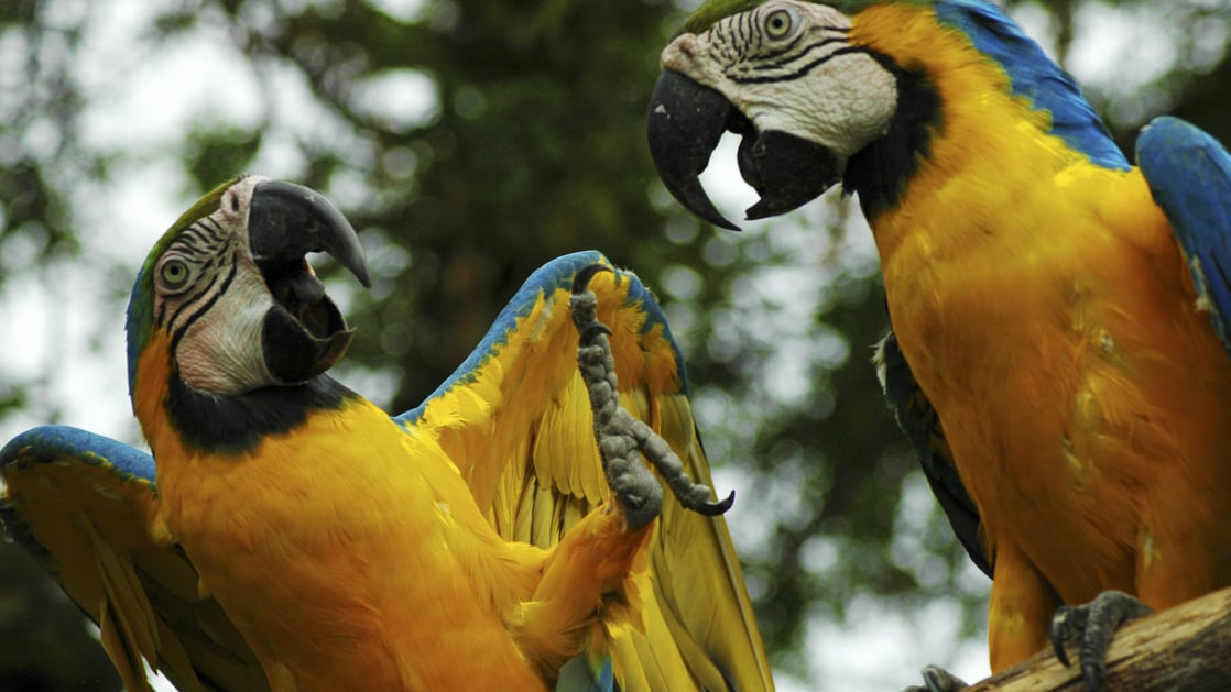 two yellow and blue parrots looking at each other with their beaks wide open