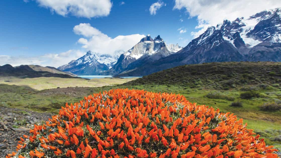 Patagonian Scarlet Gorse Guanaco Bush or Fire Tongue wildflowers in Torres Del Paine National Park with mountains in the background
