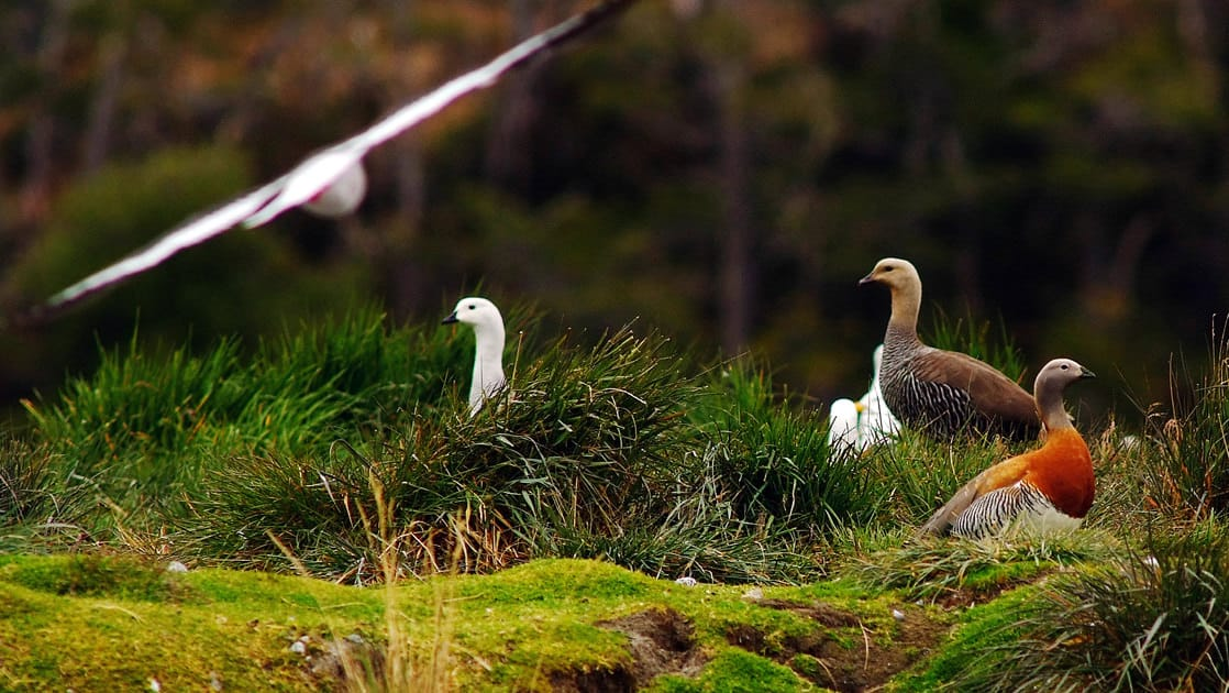 various colored patagnia sea birds walk around a grassy bluff while one flies directly above them