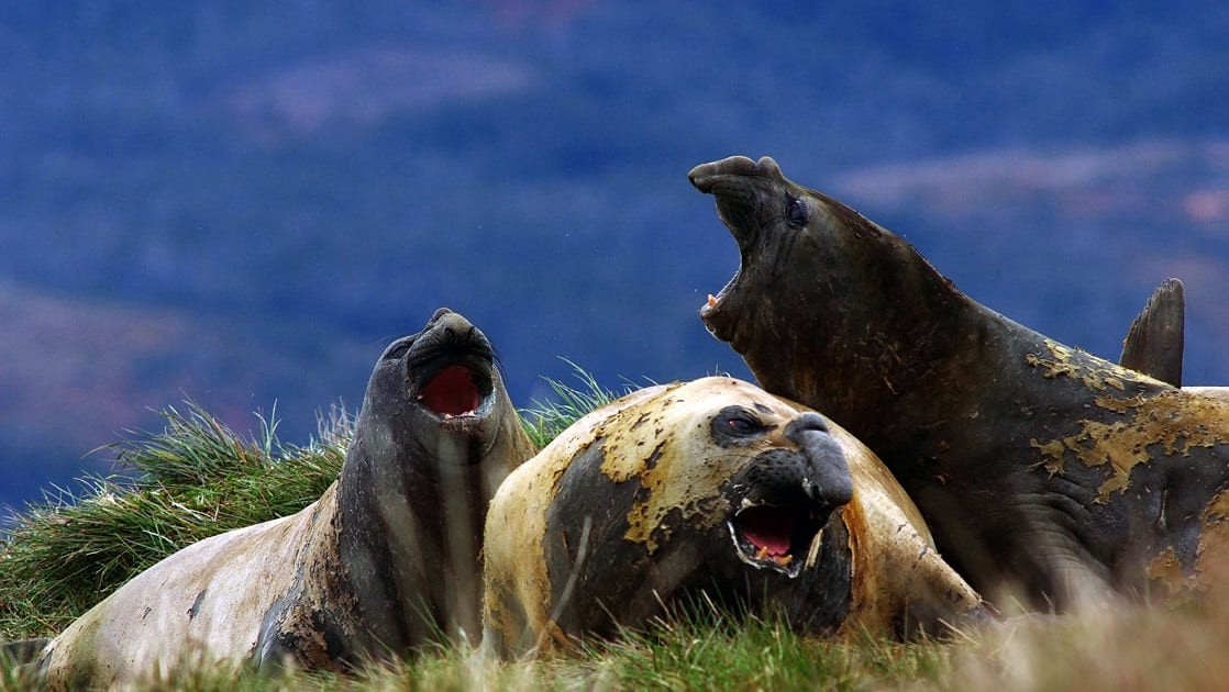 group of black and brown patagonia elephant seals fight with their mouths open with fangs showing