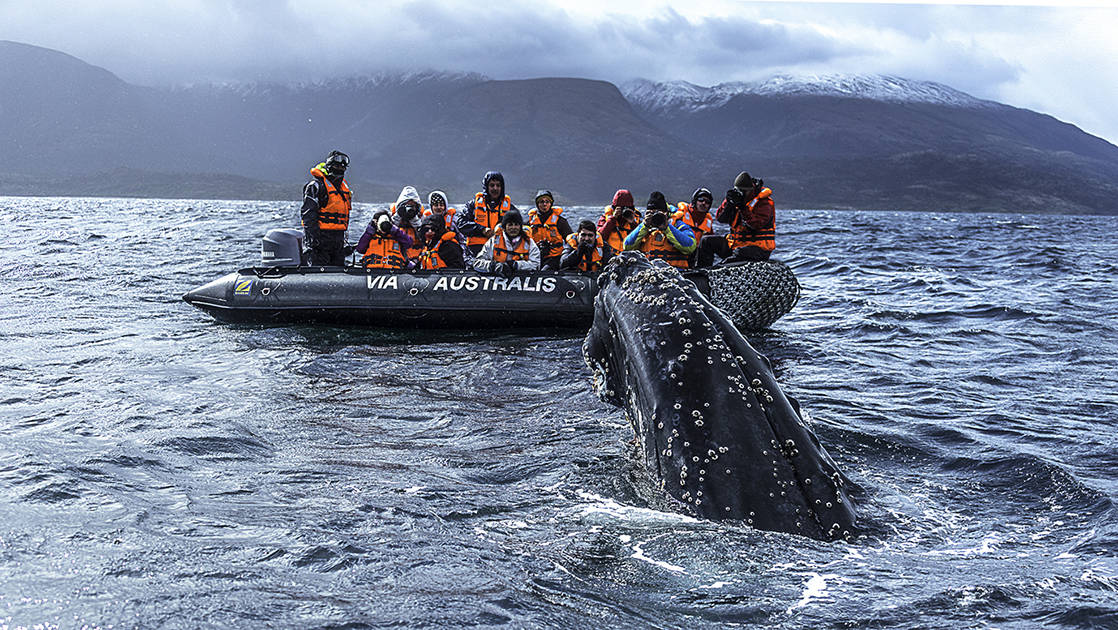 adventure travelers wearing life jackets riding in a black skiff watch and take pictures of a whale sticking its head out of the water on a cloudy day in patagonia