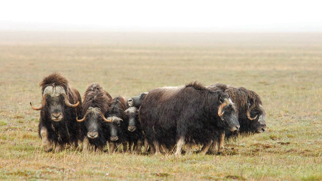 dark brown Muskox with curved horns. The family of musk oxen peacefully grazes on Wrangel Island in July. Mighty wild beasts. Overcast. Wrangel Island. Arctic. Arctic Ocean. The Chukchi Sea. Chukotka. Russian Far East.