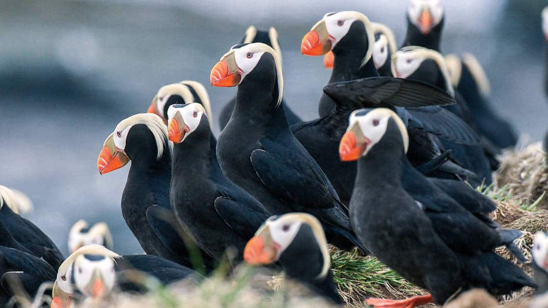a tufted puffin colony,, black bodys with white heads and bright orange beaks, seen on Commander Islands
