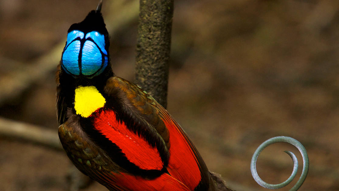 A brightly-colored in blue, yellow and red Wilson's Bird of Paradise during its mating dance as seen on the Sailing Indonesia: The Spice Islands voyage.