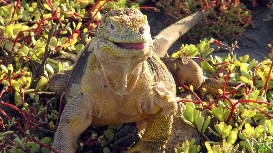 an iguana lifts its head to reveal its eyes and slightly opens its mouth from the bushes at the Galapagos islands