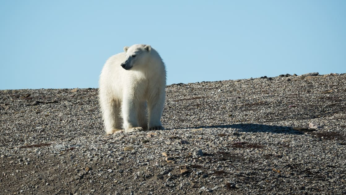 Solo polar bear looking back at a baron landscape of rock in Svalbard