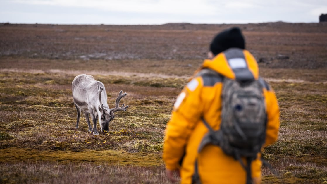 Guest looking at an arctic reindeer in Svalbard