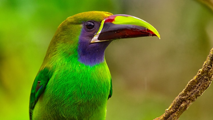 A green, purple and yellow tropical bird. Emerald Toucanet.