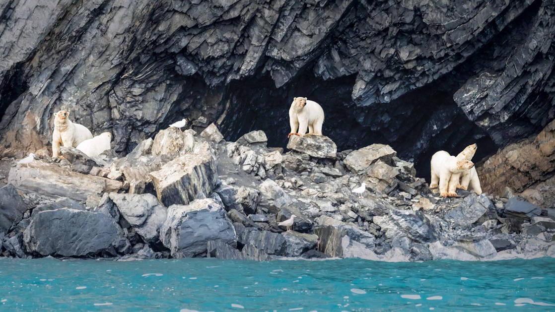 four polar bears stand on rocks on the coastline of the teal sea seen on the across the bering sea cruise