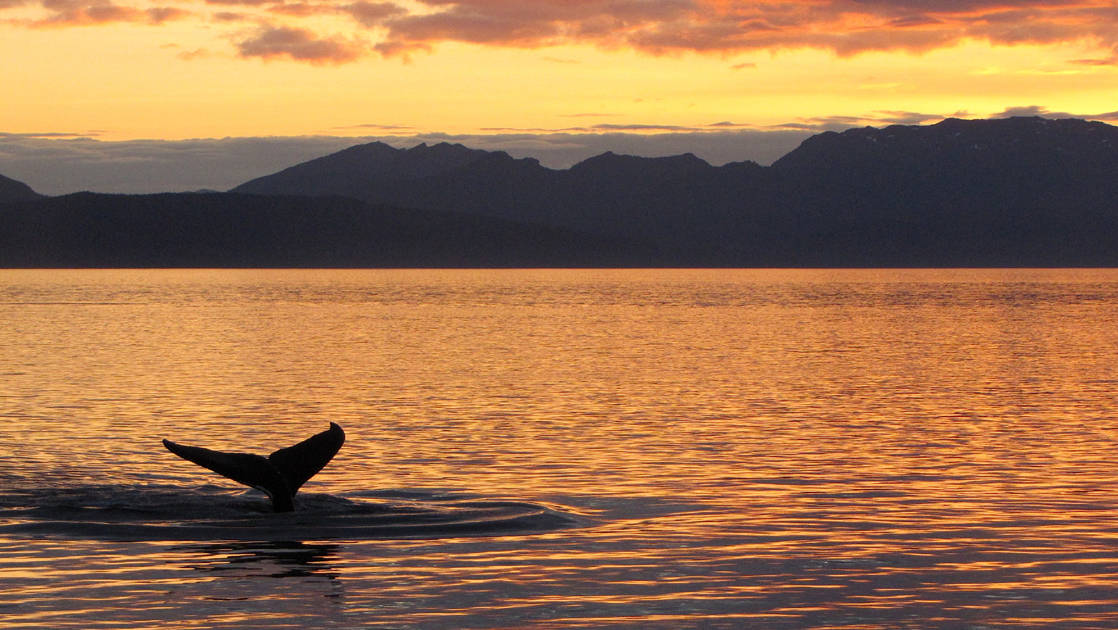 The silhouette of a whale tail just above the surface of the water in alaska during an orange sunset