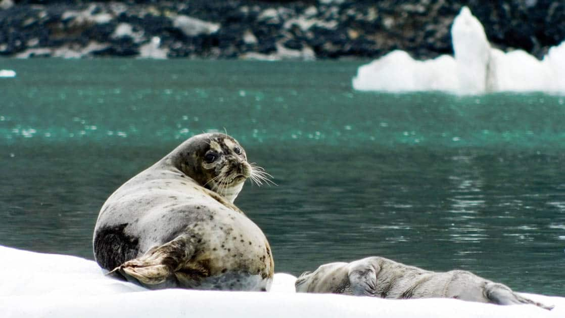 Two seals resting on ice berg looking back at camera.