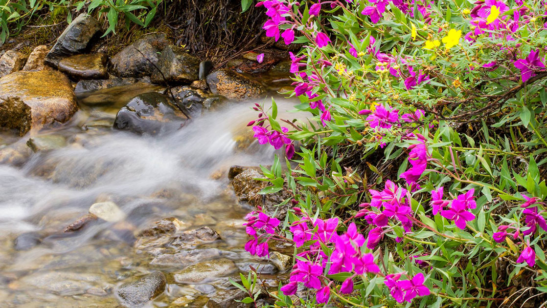 Fuschia wildflowers grow beside a flowing river with smooth stones, seen during the Alaska Grand Adventure tour.